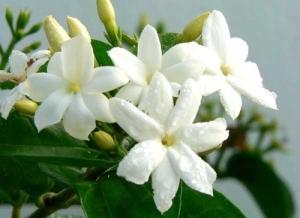 jasmin blanc